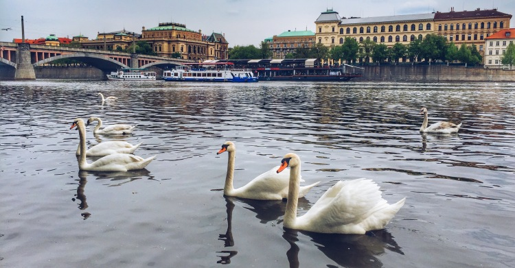 Swans swimming on Vltava River of Prague. A view from Kampa is not acceptable to be missed.