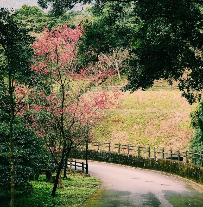 Hoa anh đào trên Yangmingshan