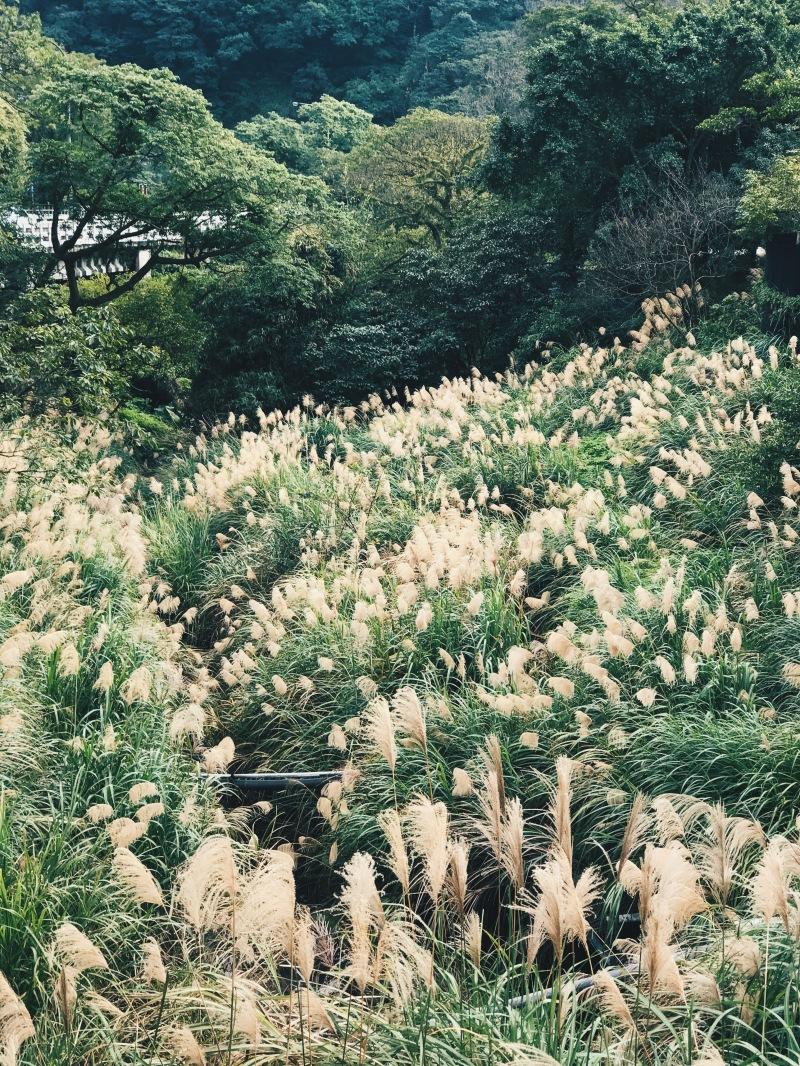 Cánh đồng hoa cỏ lau bát ngát