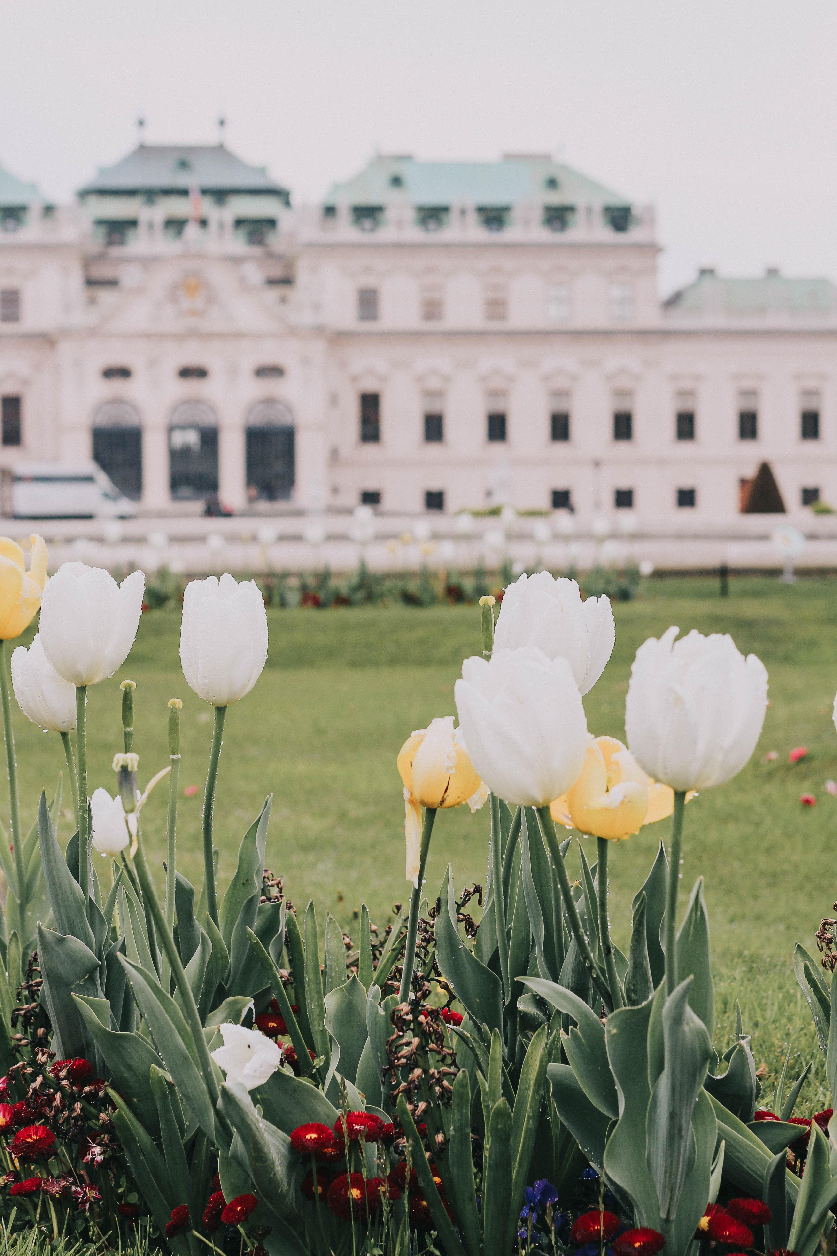 Belvedere Castle tulip