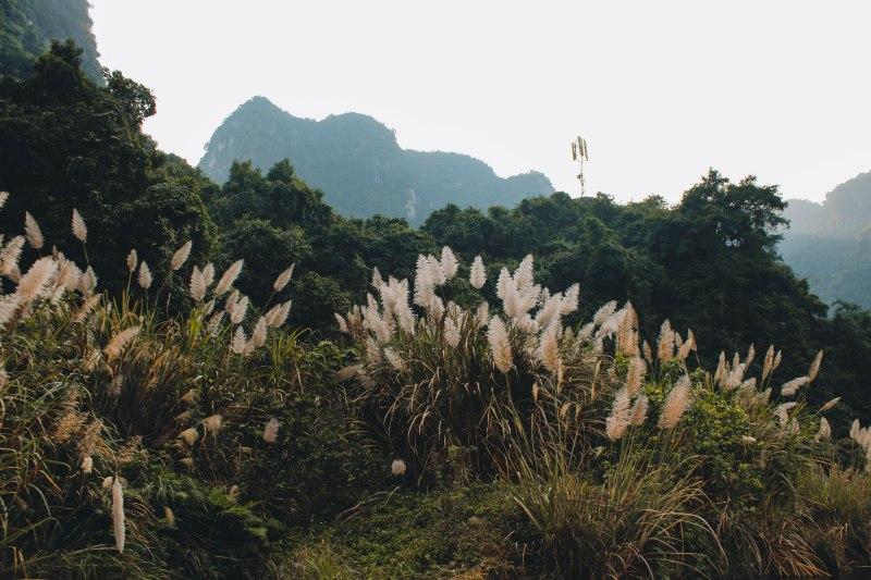 Rừng cỏ lau Ninh Bình
