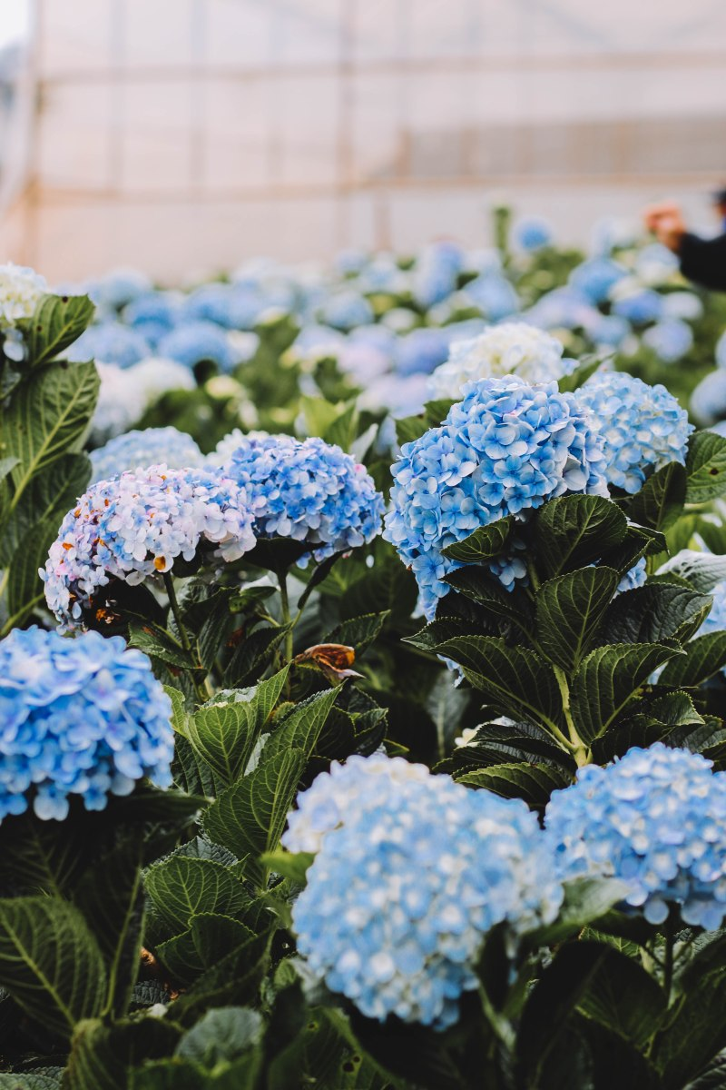 Hoa cẩm tú cầu Đà Lạt hydrangea blue