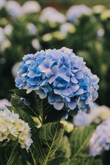 Hoa cẩm tú cầu Đà Lạt hydrangea close-up