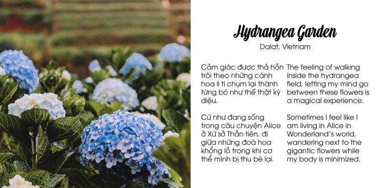 Hoa cẩm tú cầu Đà Lạt hydrangea Flower