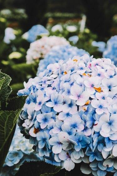 Hoa cẩm tú cầu Đà Lạt hydrangea macro