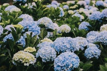 Hoa cẩm tú cầu Đà Lạt hydrangeas