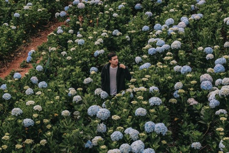 Lý Thành Cơ Hoa cẩm tú cầu Đà Lạt hydrangea garden