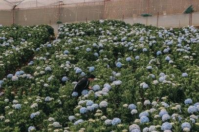 Lý Thành Cơ tại vườn Hoa cẩm tú cầu Đà Lạt hydrangea