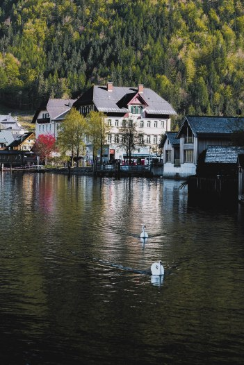 Swan Lake Hallstatter See Austria