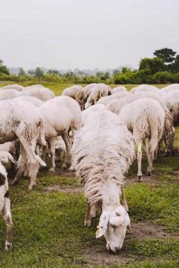 Đàn Cừu Suối Nghệ