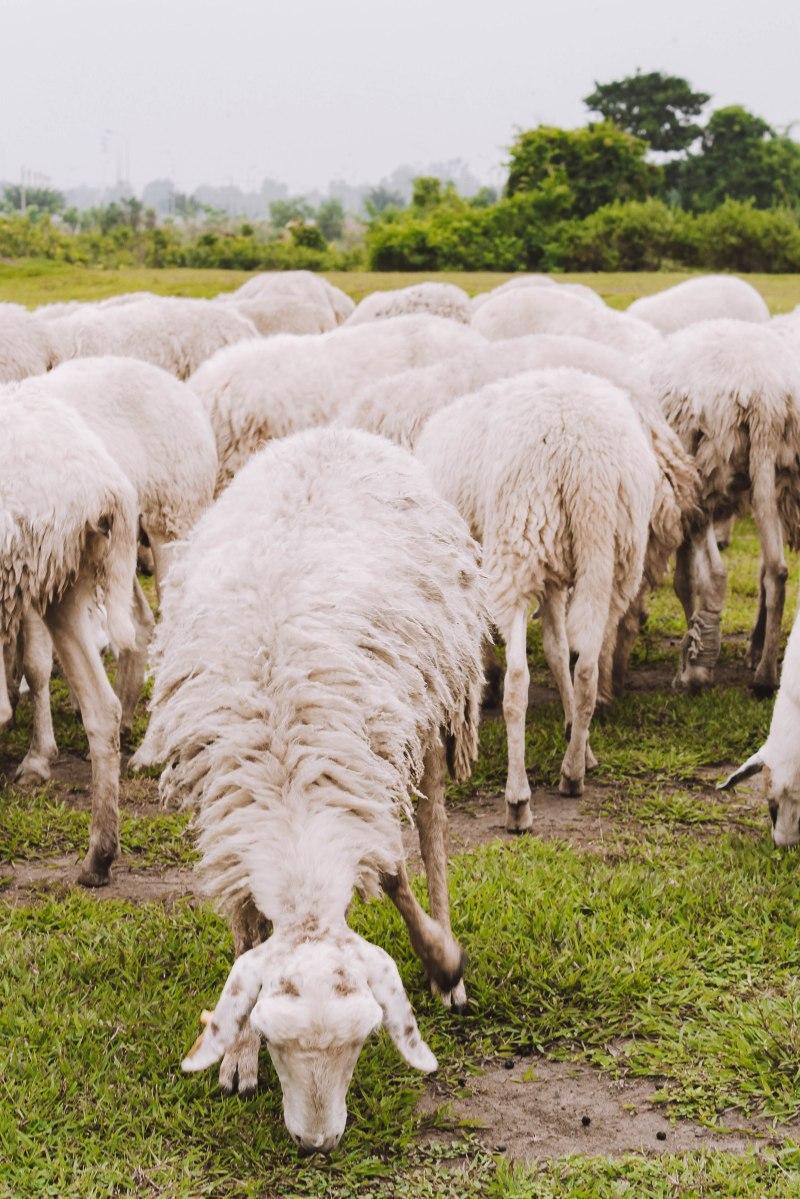 Sheep farm Đàn Cừu Suối Nghệ