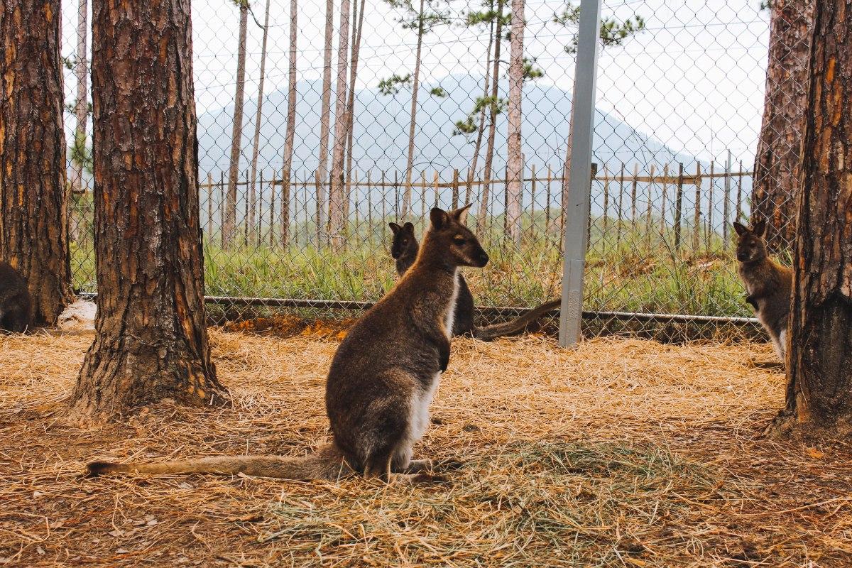 Trải nghiệm ZooDoo, Đà Lạt, Vườn thú Duy nhất Việt Nam ngắm Kangaroo, Llama