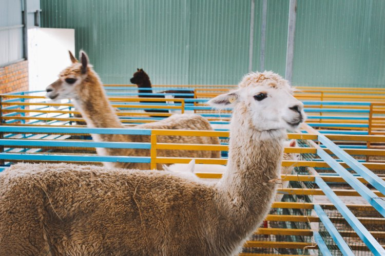 Llama tại Zoodoo