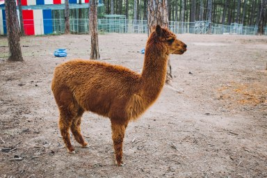 Llama Zoodoo