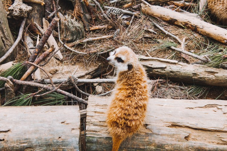 Meerkat tại Zoodoo