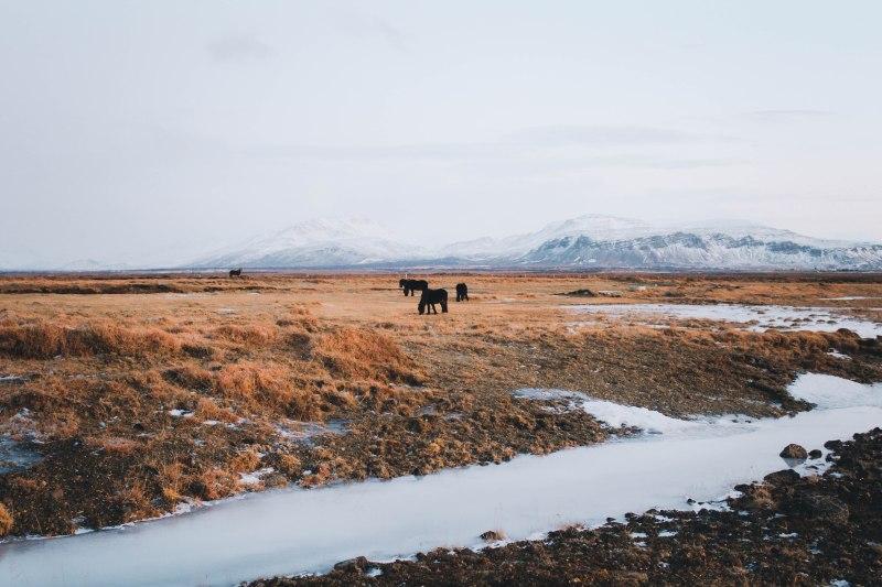 Ngựa Iceland trên đất trời Snaefellsnes