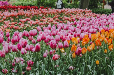 Hoa tulip Keukenhof Hà Lan