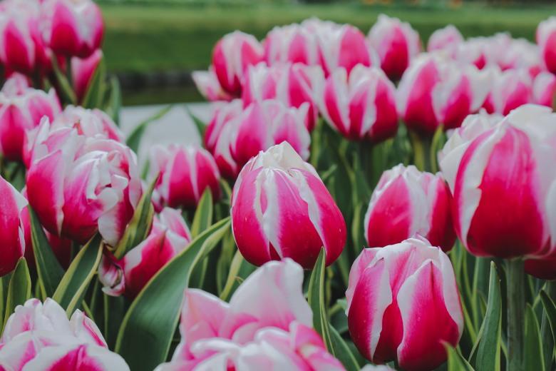 Hoa tulip Keukenhof