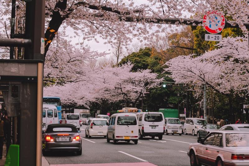 2019, hoa anh Đào sẽ nở sớm tại nhật bản lý thành cơ